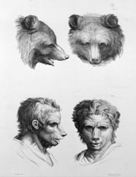 Animal to human evolution drawings - Bear